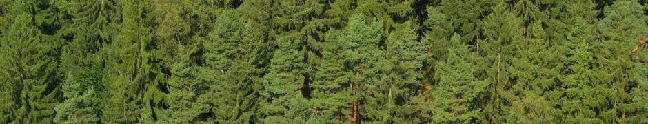 Fichtenwald - spruce forest 02
